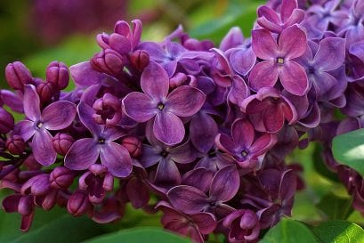 Things to Know Before You Choose Lilac Flowers as a Gift
